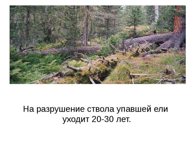 На разрушение ствола упавшей ели уходит 20-30 лет.