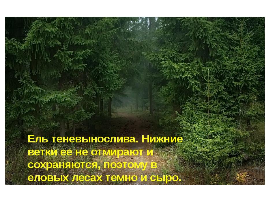 Ель теневынослива. Нижние ветки ее не отмирают и сохраняются, поэтому в еловы...