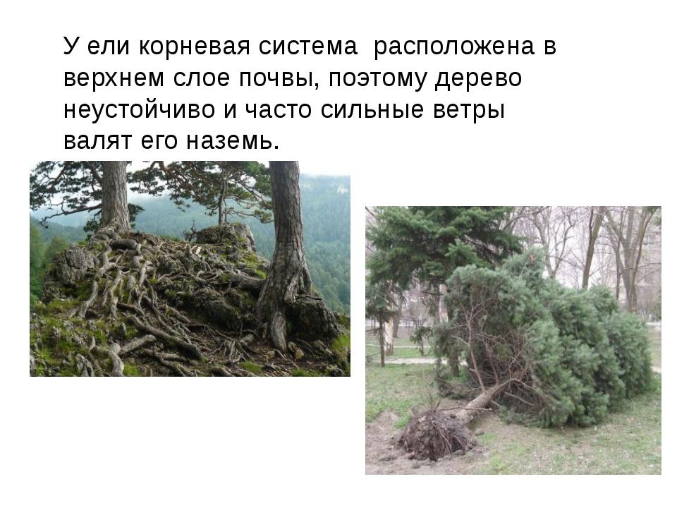 У ели корневая система расположена в верхнем слое почвы, поэтому дерево неуст...