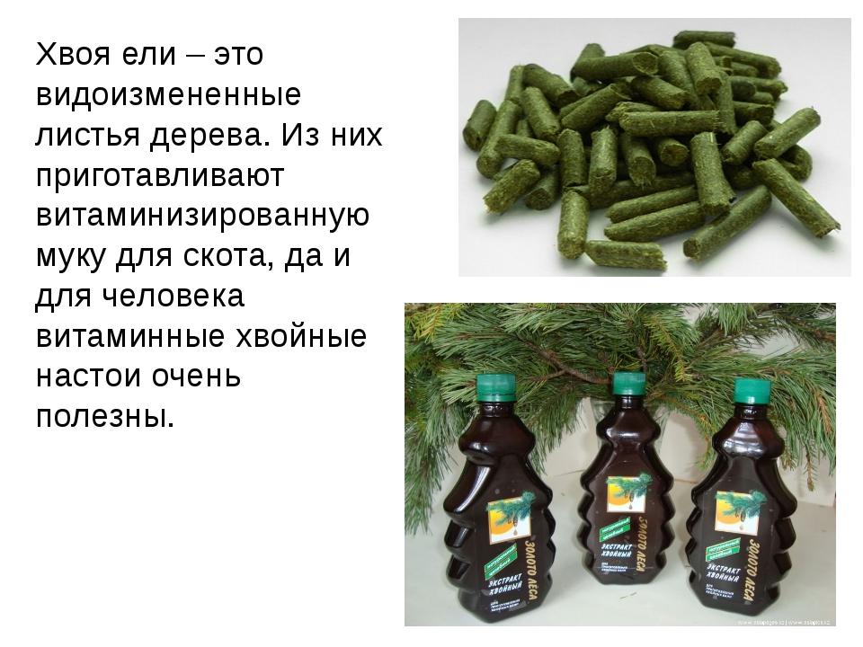 Хвоя ели – это видоизмененные листья дерева. Из них приготавливают витаминизи...