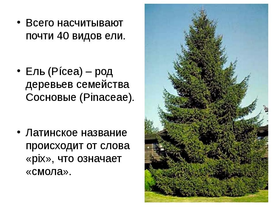 Всего насчитывают почти 40 видов ели. Ель (Pícea) – род деревьев семейства Со...