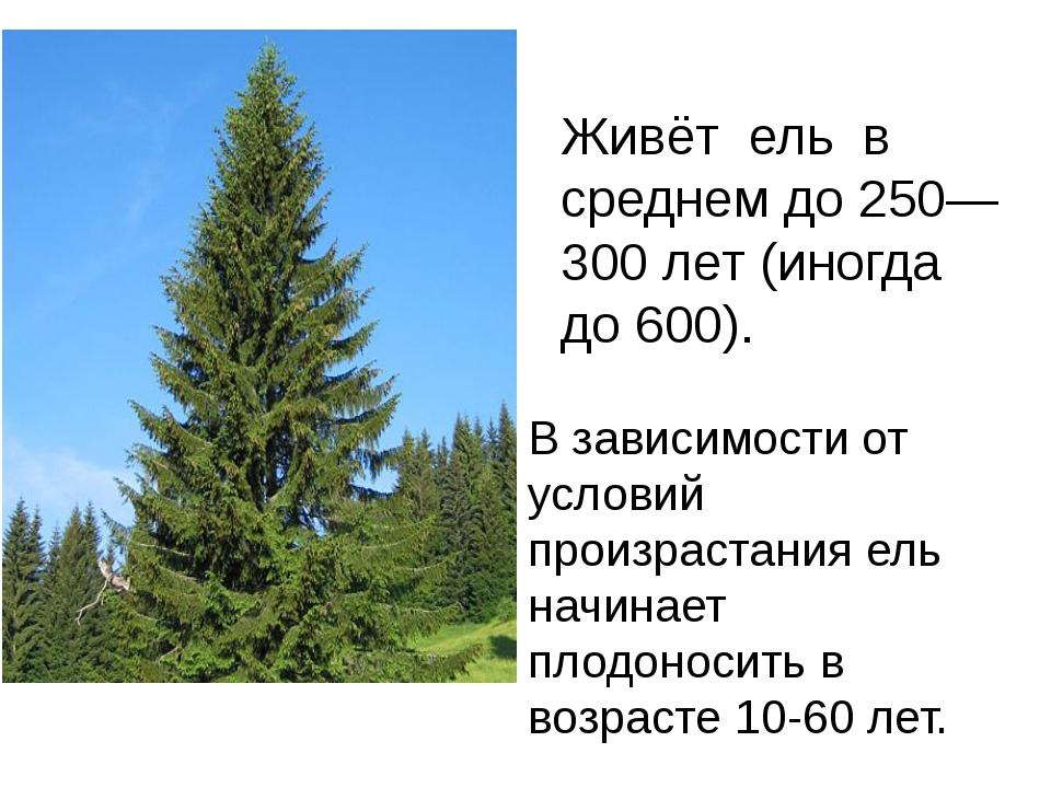 Живёт ель в среднем до 250—300 лет (иногда до 600). В зависимости от условий...