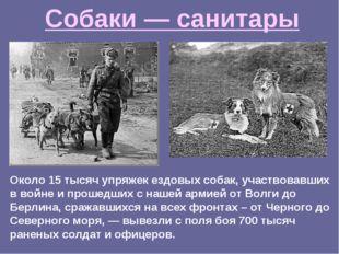 Около 15 тысяч упряжек ездовых собак, участвовавших в войне и прошедших с наш