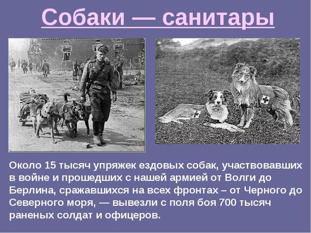 Около 15 тысяч упряжек ездовых собак, участвовавших в войне и прошедших с наш...