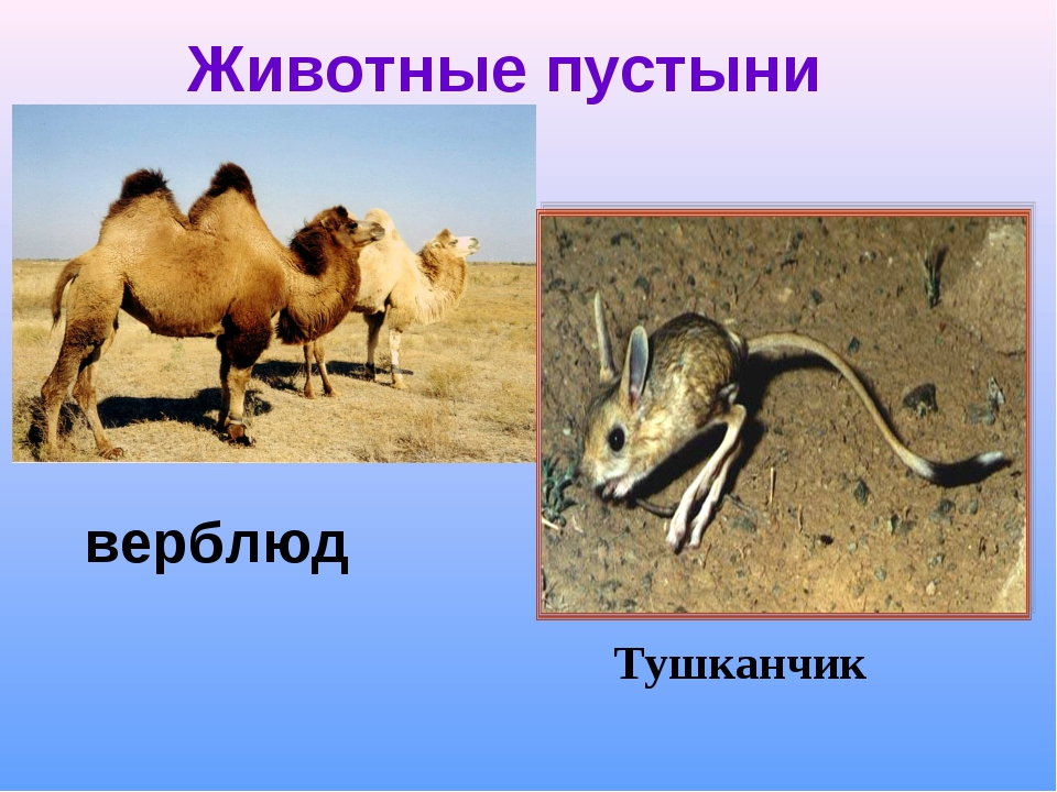Животные пустыни Тушканчик