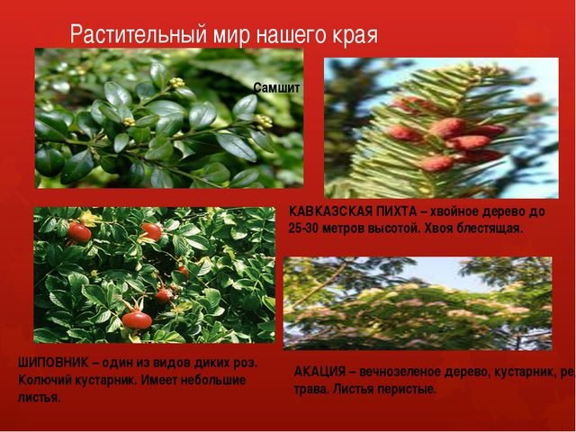 Растительный мир нашего края Самшит КАВКАЗСКАЯ ПИХТА – хвойное дерево до 25-3...