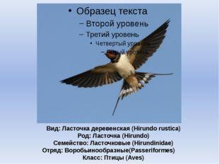 Вид: Ласточка деревенская (Hirundo rustica) Род: Ласточка (Hirundo) Семейство