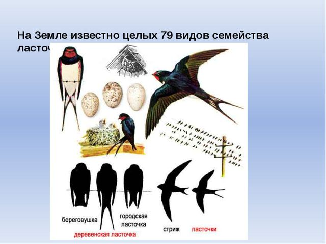 На Земле известно целых 79 видов семейства ласточковых.