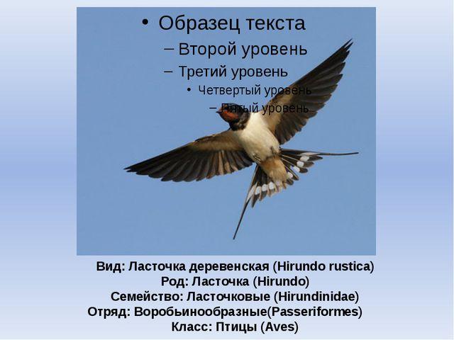 Вид: Ласточка деревенская (Hirundo rustica) Род: Ласточка (Hirundo) Семейство...