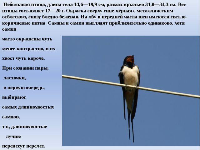 Небольшая птица, длина тела 14,6—19,9 см, размах крыльев 31,8—34,3 см. Вес п...