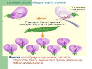 Закон единообразия гибридов первого поколения Понятия: моногибридное скрещива