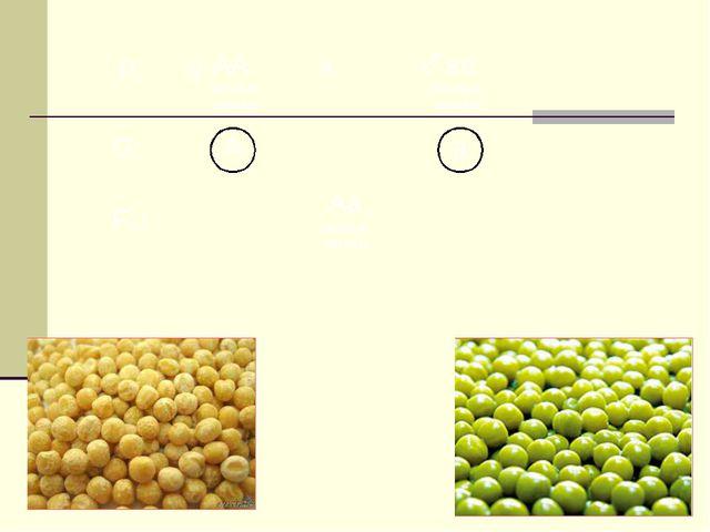 А желтые семена а ♀ ♂ АА аа Аa × зеленые семена Р: G: F1: желтые семена