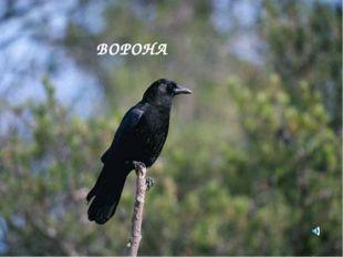 ВОРОНА Corvus brachyrhynchos- Ворона обыкновенная Отряд Воробьинообразные (Pa