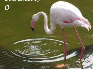 ФЛАМІНГО Фламинго обыкновенный, или розовый Phoenicopterus roseus (Ph. ruber