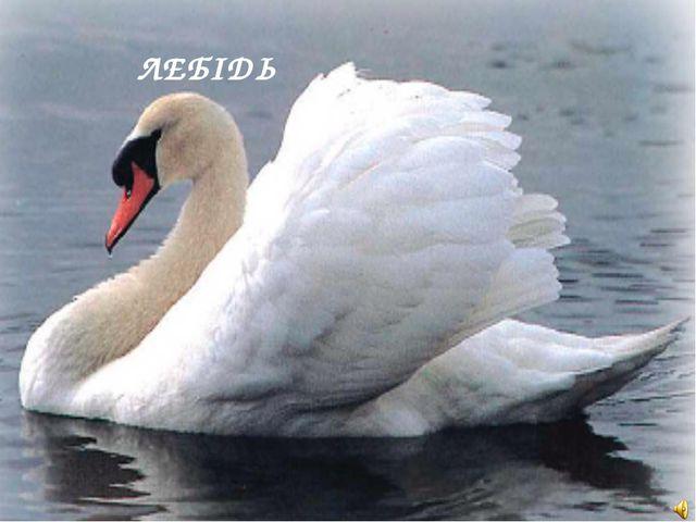ЛЕБІДЬ Cygnus sp. — Лебедь Отряд Гусеобразные (Anseriformes): Семейство Утины...
