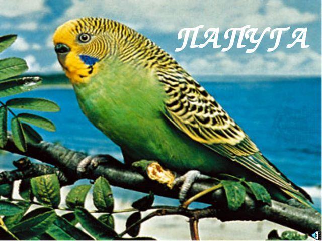 ПАПУГА Попугайчик волнистый Отряд Попугаеобразные (Psittaciformes): Семейство...