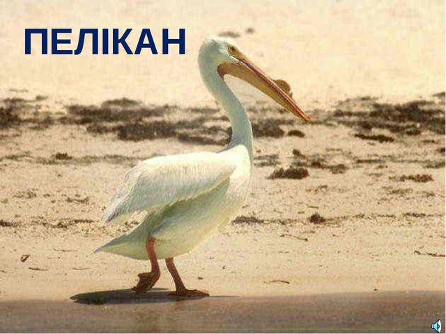 ПЕЛІКАН Pelecanus erythrorhynchos — Пеликан белый американский Отряд Пеликано...