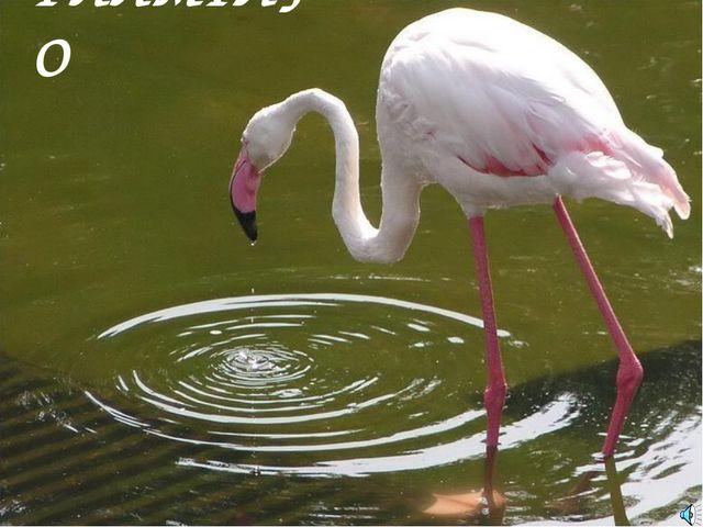 ФЛАМІНГО Фламинго обыкновенный, или розовый Phoenicopterus roseus (Ph. ruber...