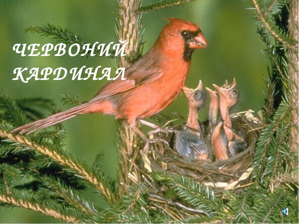 ЧЕРВОНИЙ КАРДИНАЛ Cardinalis (Richmondena) cardinalis — Кардинал красный, или...