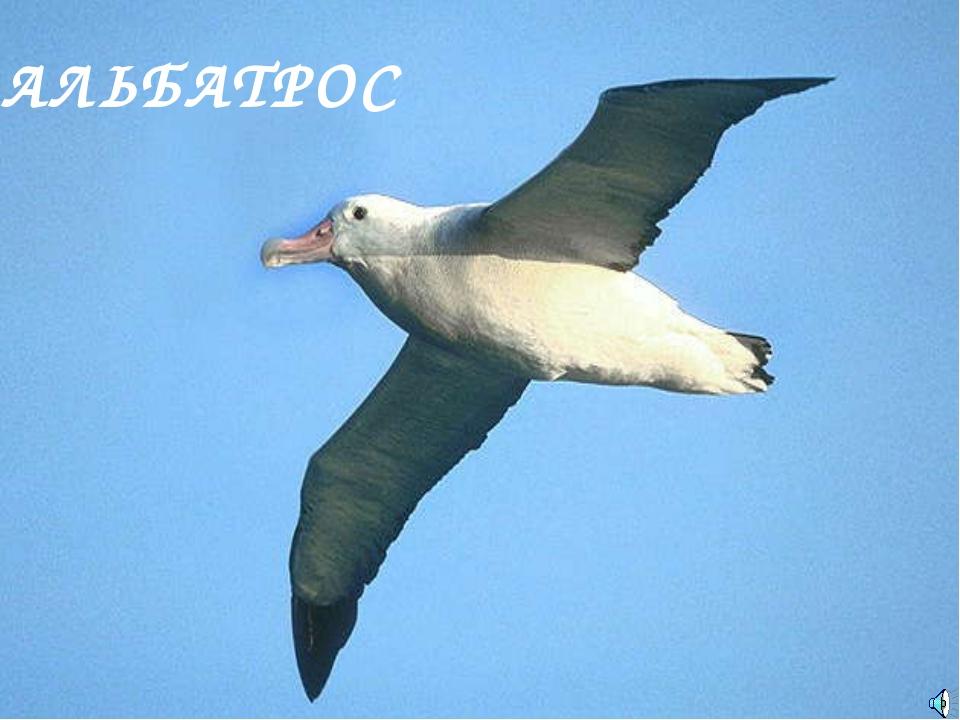 АЛЬБАТРОС Diomedea exulans — Альбатрос странствующий Отряд Буревестникообразн...