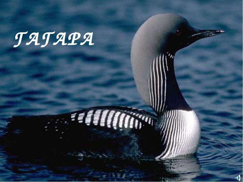 ГАГАРА Gavia sp. — Гагара Отряд Гагарообразные (Gaviiformes): Семейство Гагар...