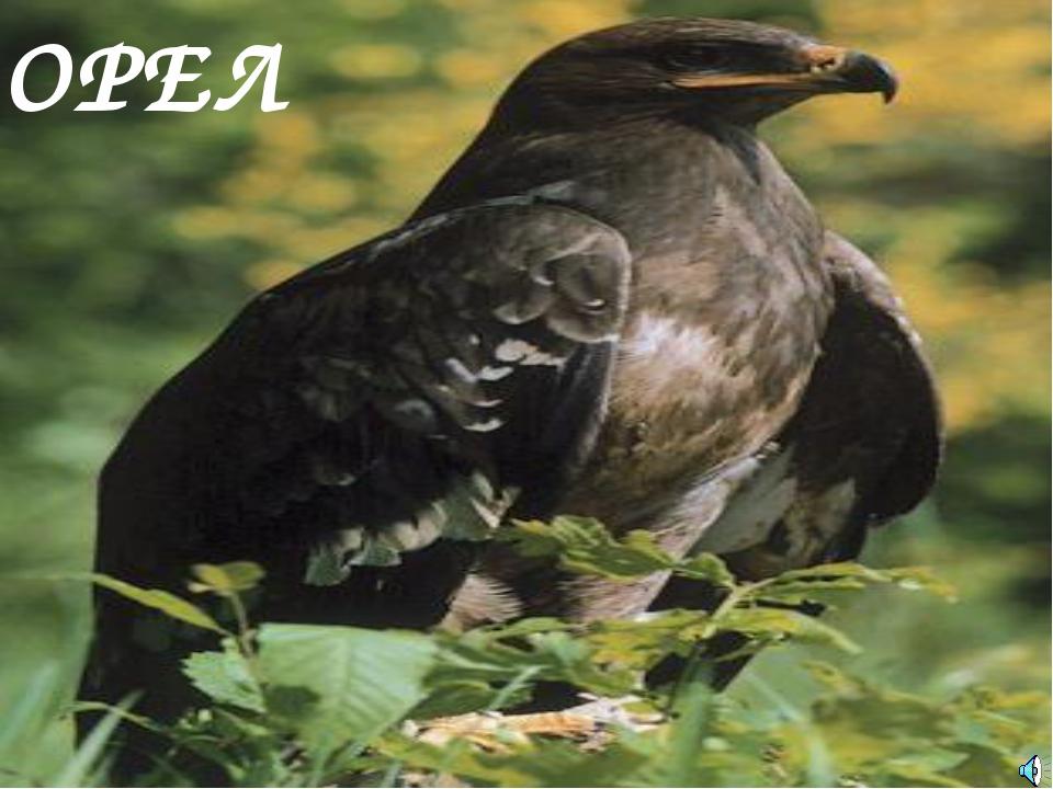 ОРЕЛ Aquila sp. — Орёл Отряд Соколообразные, или Хищные птицы (Falconiformes)...