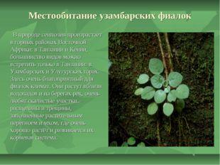 Местообитание узамбарских фиалок В природе сенполия произрастает в горных рай