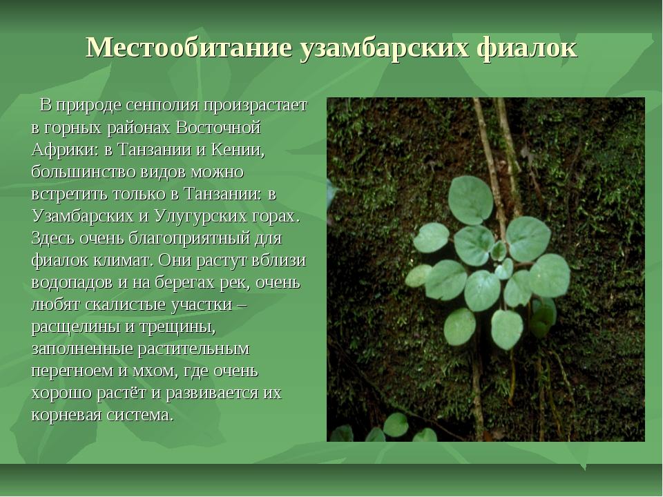 Местообитание узамбарских фиалок В природе сенполия произрастает в горных рай...