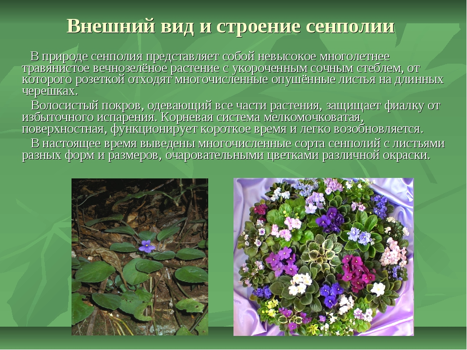 Внешний вид и строение сенполии В природе сенполия представляет собой невысок...