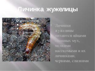 Личинка жужелицы Личинки жужелицы питаются яйцами овощных мух, мелкими насеко