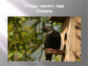 Птицы нашего сада Скворец