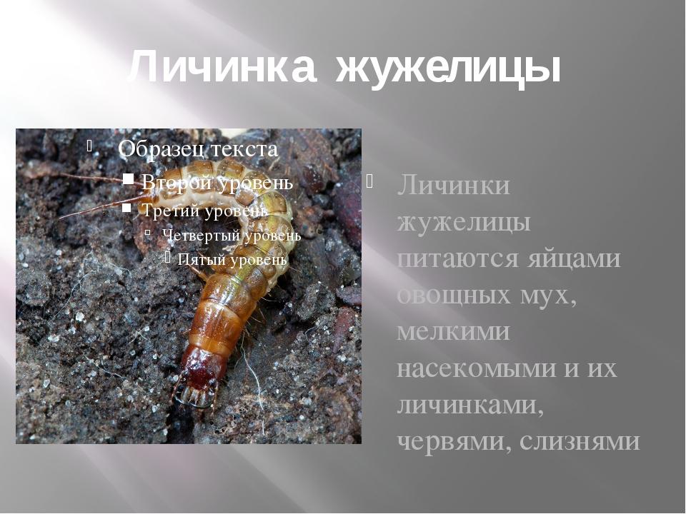 Личинка жужелицы Личинки жужелицы питаются яйцами овощных мух, мелкими насеко...