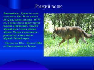 Рыжий волк Внешний вид. Длина его тела составляет 100-130 см, хвоста - 30-42