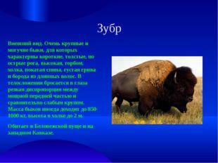 Зубр Внешний вид. Очень крупные и могучие быки, для которых характерны коротк
