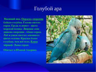 Голубой ара Внешний вид. Окраска оперения блёкло-голубая. Голова светло-серая