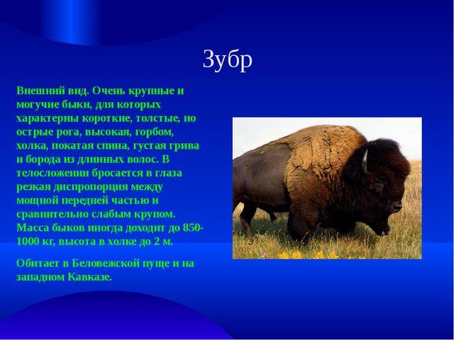 Зубр Внешний вид. Очень крупные и могучие быки, для которых характерны коротк...