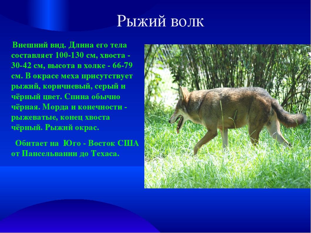 Рыжий волк Внешний вид. Длина его тела составляет 100-130 см, хвоста - 30-42...