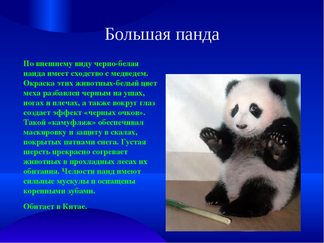 Большая панда По внешнему виду черно-белая панда имеет сходство с медведем. О...