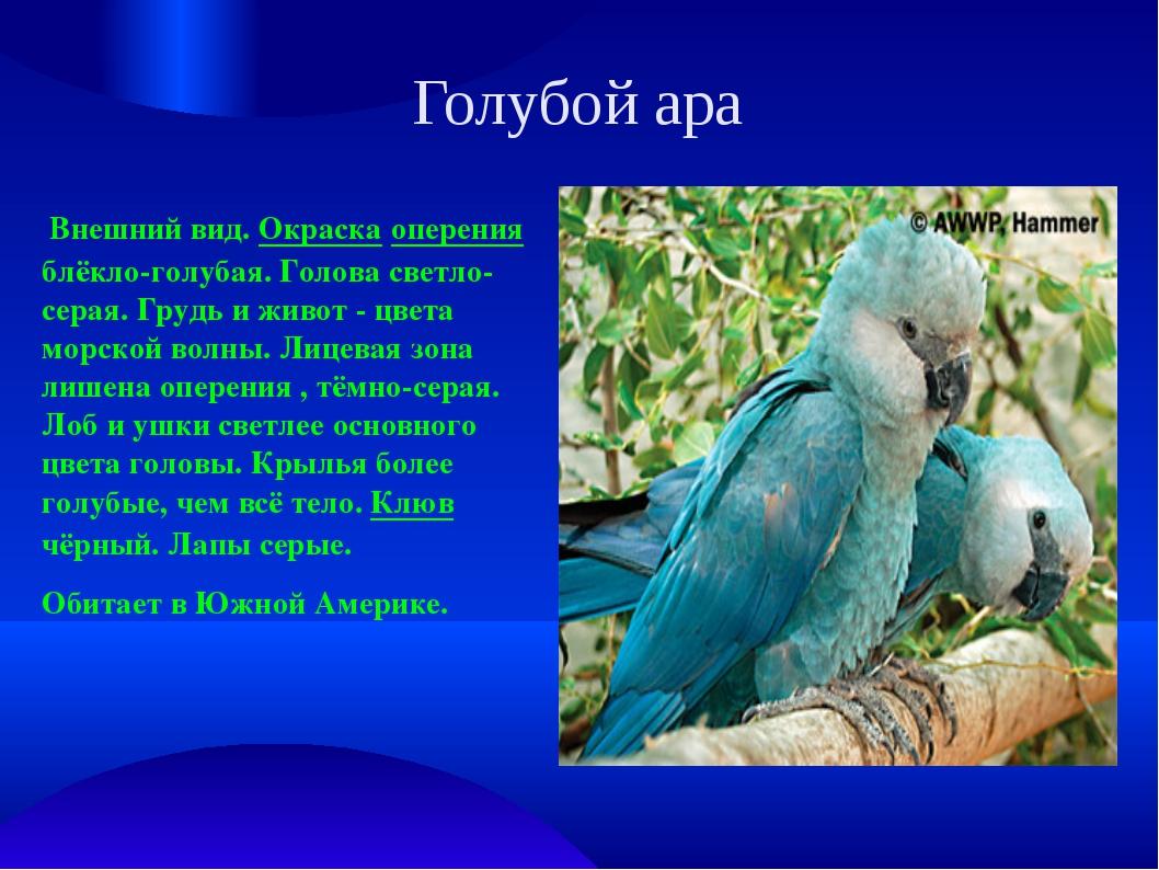 Голубой ара Внешний вид. Окраска оперения блёкло-голубая. Голова светло-серая...