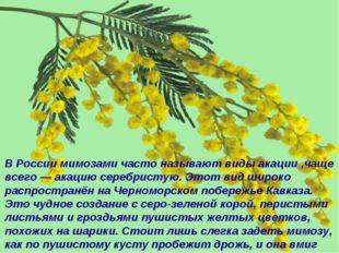 В России мимозами часто называют виды акации ,чаще всего — акацию серебристую