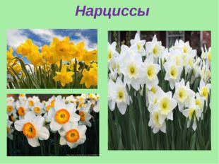 Нарциссы