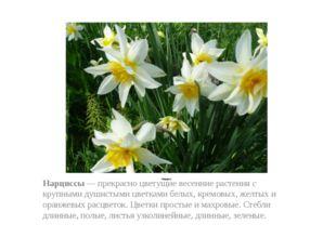 Нарцисс Нарциссы — прекрасно цветущие весенние растения с крупными душистыми