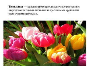 Тюльпаны — красивоцветущие луковичные растения с широколанцетными листьями и