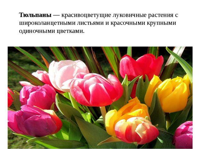Тюльпаны — красивоцветущие луковичные растения с широколанцетными листьями и...