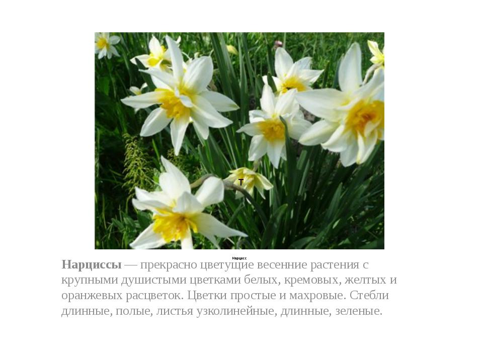 Нарцисс Нарциссы — прекрасно цветущие весенние растения с крупными душистыми...