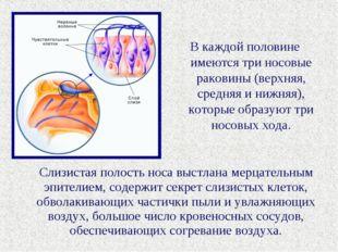 В каждой половине имеются три носовые раковины (верхняя, средняя и нижняя), к