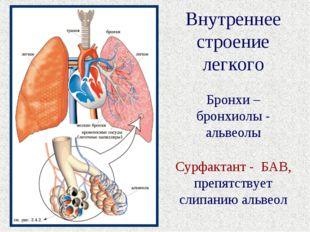 Внутреннее строение легкого Бронхи – бронхиолы - альвеолы Сурфактант - БАВ, п