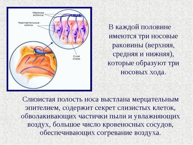 В каждой половине имеются три носовые раковины (верхняя, средняя и нижняя), к...