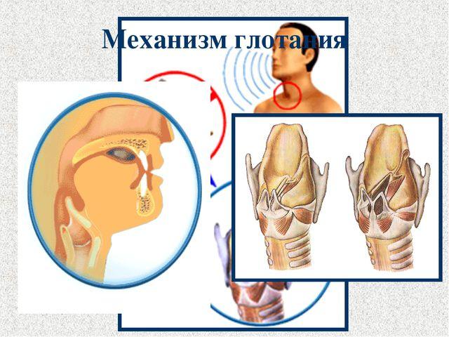 Механизм глотания