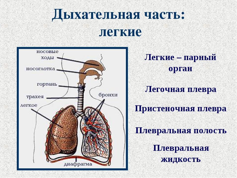 Дыхательная часть: легкие Легочная плевра Легкие – парный орган Пристеночная...